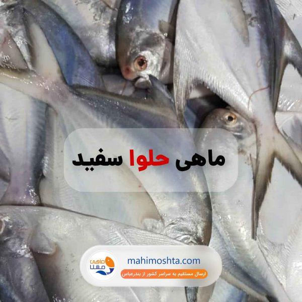 حلوا سفید ماهی مشتا