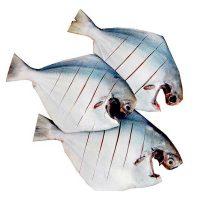 ماهی حلوا سفید بزرگ (زبیدی) - %d9%be%d8%a7%da%a9-%d8%b4%d8%af%d9%87