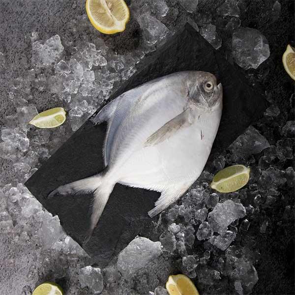ماهی حلوا سفید برای فروش در سایت ماهی مشتا