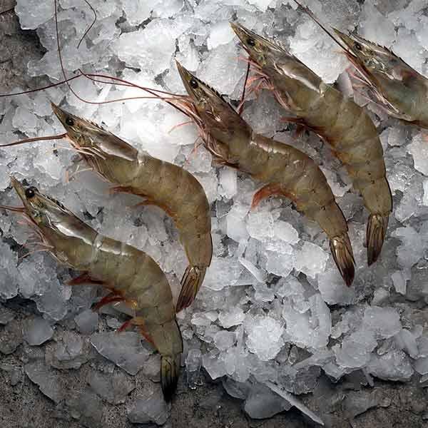 میگو سرتیز تازه جنوب برای فروش در وبسایت ماهی مشتا