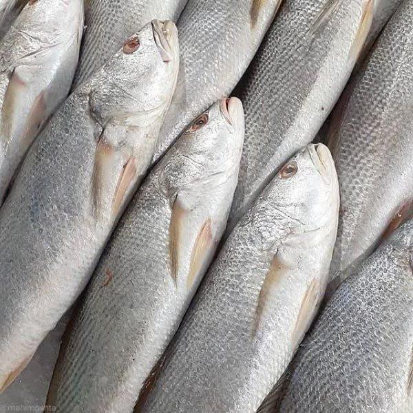 شوریده ماهی جنوب