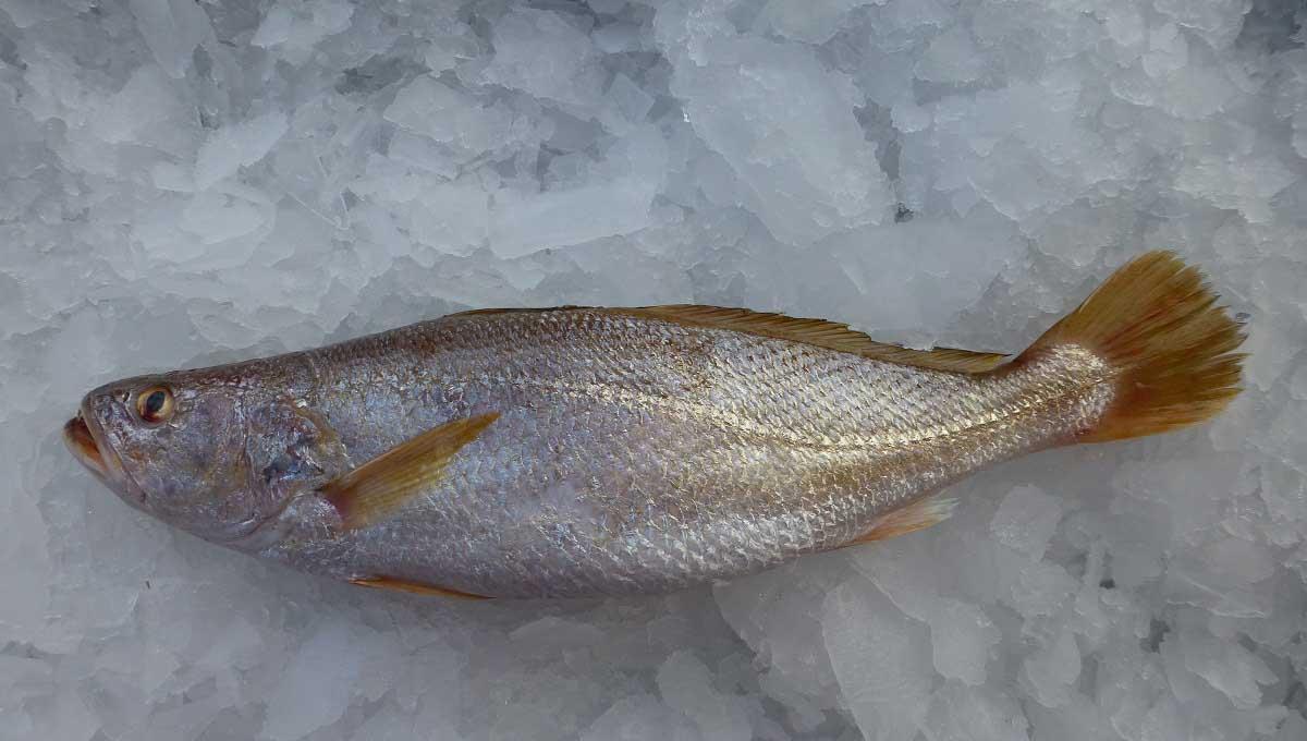 ماهی شوریده تازه و خوشمزه