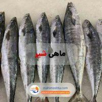 ماهی شیر تازه جنوب کشور