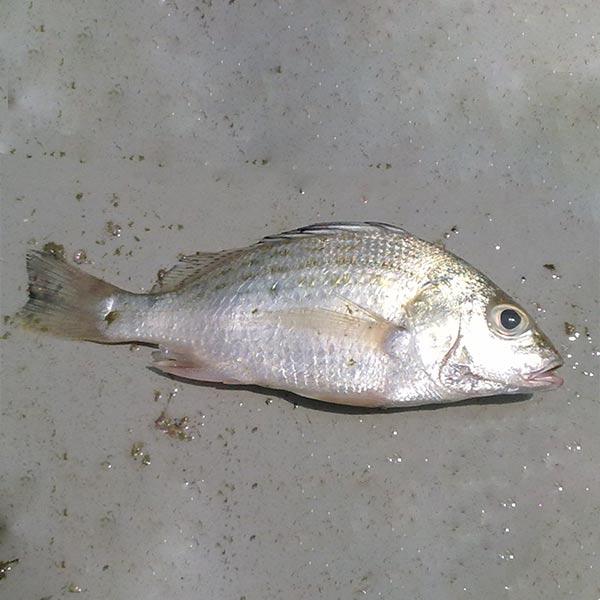 ماهی سنگسر پاک نشده برای فروش در وبسایت ماهی مشتا