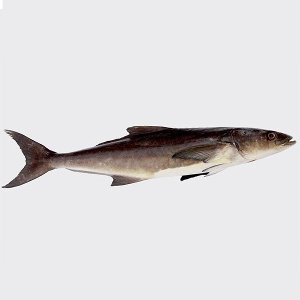 ماهی سوکلا پاک نشده برای فروش در وبسایت ماهی مشتا
