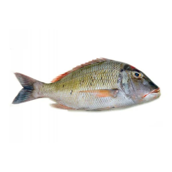 ماهی شعری برای فروش در وبسایت ماهی مشتا