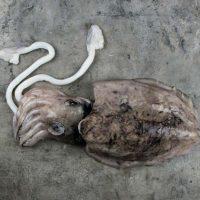 ماهی مرکب برای فروش در وبسایت ماهی مشتا
