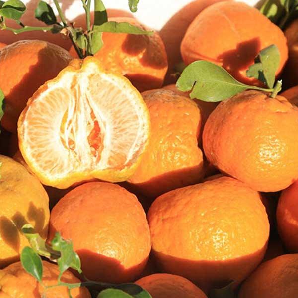 نارنگی جنوب برای فروش در وبسایت ماهی مشتا