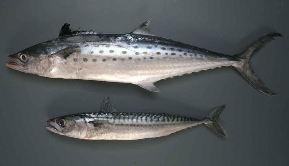 روش طبخ ماهی قباد
